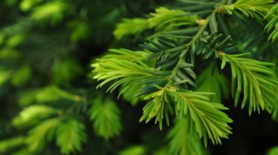 Fir-Branches