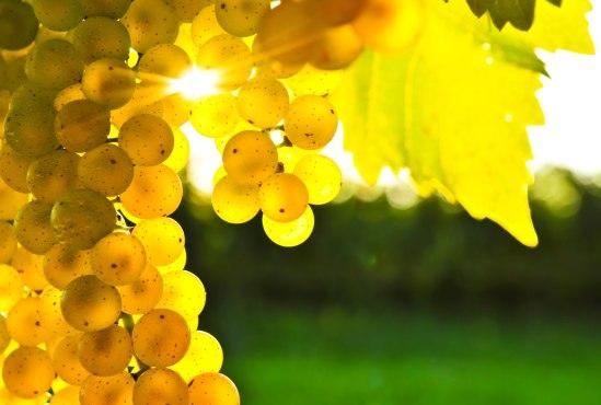 tcs-photo-grapes