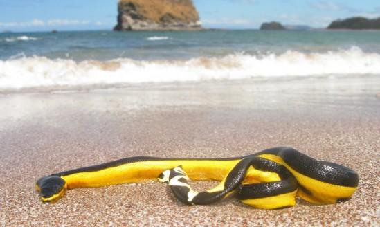 Poisonous-Yellow-bellied-sea-snake-1020x610