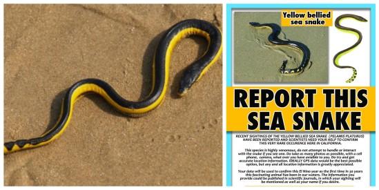 Poisonous-Yellow-Bellied-Sea-Snake-on-Beach-in-Oxnard-California