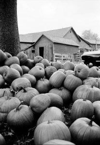 USA. New Hampshire. 1954. Pumpkins piled in a farm yard.