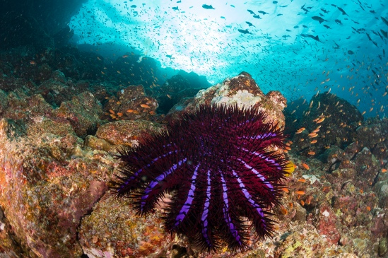 Crown of Thorns Starfish, Indonesia